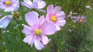 広島に住んでいます ┳┻|   ┳|_∧   ┻|ω・)    庭の花 いい感じかなー ┳┻|&su