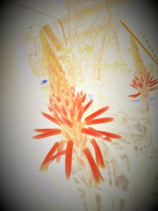 かわいい草花とアンティーク カメラのアート機能を使って、お隣りのアロエの花を撮ってみました。