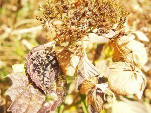 かわいい草花とアンティーク アジサイ、 枯れたように見えますが。