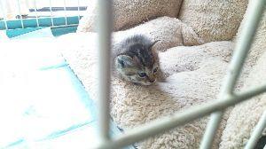電気ガマを寝床にした黒猫 子猫を保護しました、カラスに狙われていましたので直ぐに助けて保護しました。