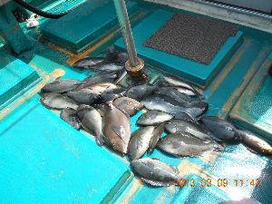 カジキ マグロを釣りませんか? 12月29日にグレ釣りに行きます、  誰か行きませんか?