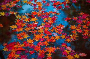 ☆金澤とことこ☆ 管理人がミスドで「いつものやつ」とたのむぐらい常連らしいので一席。  三島池のコトちゃんの彼岸花と新