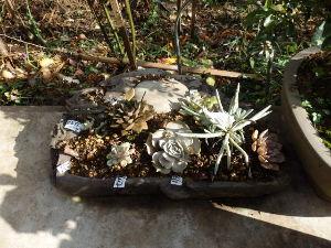 サキュレント 端渓硯に植えたエケベリア