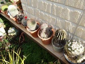 サキュレント こんばんは^^ 花サボテンと群生タイプが好きで、 サボテンは全て戸外で越冬させています。  今年の最