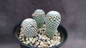 サキュレント 白斜子です 交配して効率よく種をとるには同時に開花する必要があり、 数株必要です。