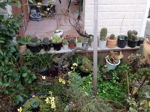 サキュレント この時期の花サボテンです。 花付きを良くする為もあって、軒下の雨ざらしです。