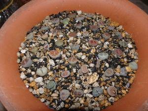 サキュレント リトープスを植えました。