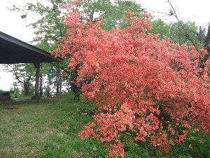 奥武蔵、奥秩父の好きな人集まれ! シンさんこんばんは。 皇鈴山や釜伏山のツツジがきれいですね。 今日、私は先週五分咲きだった関八州見晴