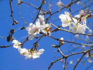 奥武蔵、奥秩父の好きな人集まれ! 【桜山へフユザクラ観賞に行って来ました】 朝起きたら快晴でしたので、思い立って桜山に行って来ました。