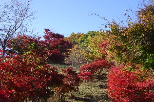 奥武蔵、奥秩父の好きな人集まれ! 【丸山は錦繍でした】 埼玉県民の森駐車場から大野峠までグリーンラインを歩き、大野峠から急な木段を登る