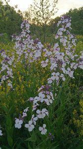 ハートのチューニング 花です。名前?です。