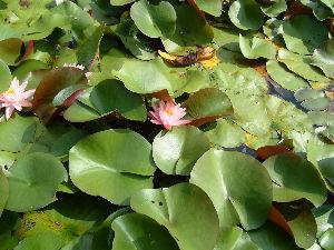 新池山寺 新池山寺の敷地に池があり、夏には睡蓮や蓮があるので花が綺麗です、見学者は結構あるのですが花だけを見て