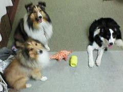 犬について教えてください 我が家にはシェルティが2匹ボーダーコリーが1匹いましたが先月シェルティが14際ヶ月でなくなりました。