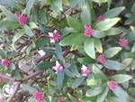 60代のんびりとマイペースで 引っ越しをした人が植えた沈丁花が咲き始めました。 手入れもしないのに季節になったら綺麗な花を咲かせて