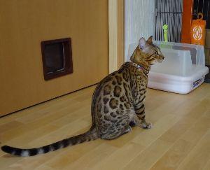猫の写真を貼っていこう ベンガル猫のベン君です。