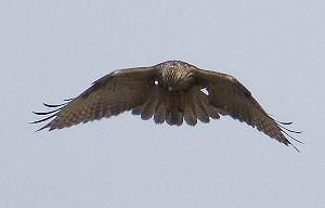 下手の横好き、一人きり この猛禽類は何か分からない ホバーリングしてるところだ と言うことはチョウゲンボウ的である コチョウ