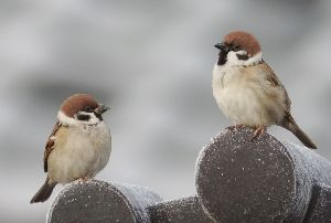 下手の横好き、一人きり 霜が降りた朝のスズメちゃん スズメちゃんならウチにいても撮れる