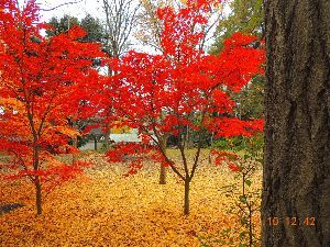 躰が燃えて濡れて困ります  昨日は九品仏浄真寺の紅葉を見て撮って来ました、スレッドのタイトルの様に 燃える様に楓の紅葉が素晴ら