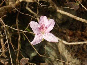 六甲山 モチツツジ、 まだ咲いていました。