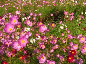 *50代の友達の輪* 今日のフォト📷  秋といえば、この花だねぇー❀  ガイジンさんも写真撮ってたょ(≡^.^