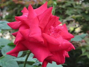 ・★・【幸せ日記】をはじめませんか・★・ 我が家の庭に薔薇が咲きました。 今日のイイコト
