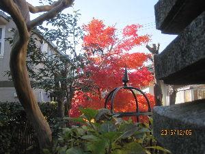 お暇な時間にどうぞ~♪ 去る12月4日に、我が南庭のモミジを撮影し、 ここに発表しましたが、 2日後の本日には、次のように色