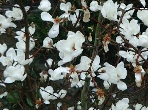 。・:*:・゚☆和みの時間。・:*:・゚☆ おしゃれな生け花でアートしていますね。 我が家はハクモクレンが春の訪れを知らせているようです。平均気