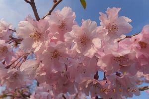 主婦の部屋♪あれこれと~ 今年のいつもの桜。咲く 今日とあと数日で見納めになるのでは   さて今日の京都の桜 どちらに咲くでし