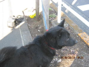 甲斐犬と共に カインズ昭島店の回りを散歩です もう少しでキノコが出てきそう  もう少し気温が上がれば奥多摩へ行きま
