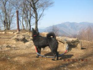 甲斐犬と共に 奥多摩、岩茸石山の頂上で今日初めての出会った人に注目のベル  奥には東京都最高峰雲取山が。