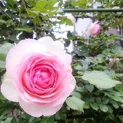 薔薇が大好きなんです