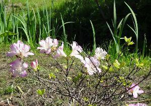 羽後の国から サツキが咲いたよ