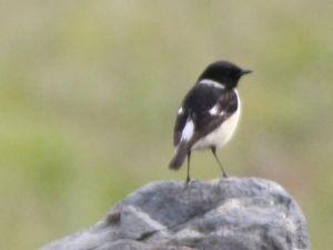 羽後の国から ノビタキの♂です