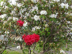羽後の国から シャクナゲの花が咲いています