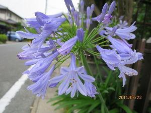花しおり きっと名前がついている紫陽花ですね。 光の当たっているところと当たっていない場所のバランスがいい。