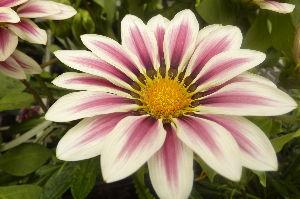 花しおり ベルフラワー とってもいい色です。 落ち着いた品のある色で沢山咲いてきれいですね、7年ほど前の画像で