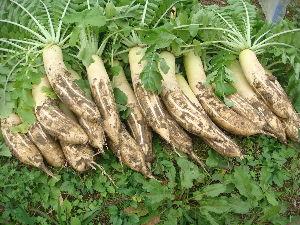 家庭菜園 始めました ^^v 【大根】  その多すぎる大根  今日、収穫しました^^v  全部で18本。。意外と大きいです。  夫