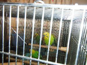 犬と鳥 セキセイインコ 家で卵を産んで孵化した子供たち。 何年も経つので少なくなってしまった 生めよ増えよと