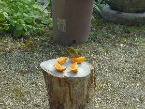 どこか行きたい・・・・ メジロはいったん餌のあるのを覚えると毎日来るようです。 今日は植木鉢より少し窓に近いところに、楠の幹