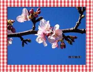 暇潰しが仕事に・・・・・・ 立春に相応しい春の陽気に・・・  真っ青な空に眩しいほどの陽射し・・・  河津桜の様子を見に公園まで