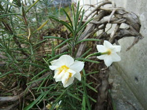 ぼんやりしたい時に・・・ >厳しい現実の中、小さなを発見することは >大きな喜び。  その花は、これ ローズマリーに支えられて