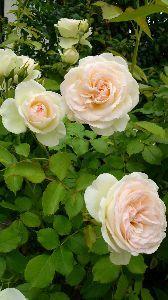 HUSHABY あ、そうそう、 バラはこんな感じです。 本当はもっとピンクの濃いバラが欲しかったのですが、 白バラし