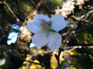 ライコ番外編ツーリング 11月17日 きょうは、木曜日。ひらりさんの都合で、鬼石の寒桜を見に行って来ました。桜祭りは12月1
