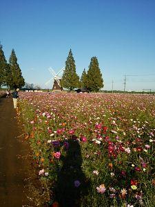 千葉県発!バイク遊びしませんか? あけぼの山農業公園に行って来ました~(笑) コスモスが満開です。7日には刈り取られるようなのでなんと