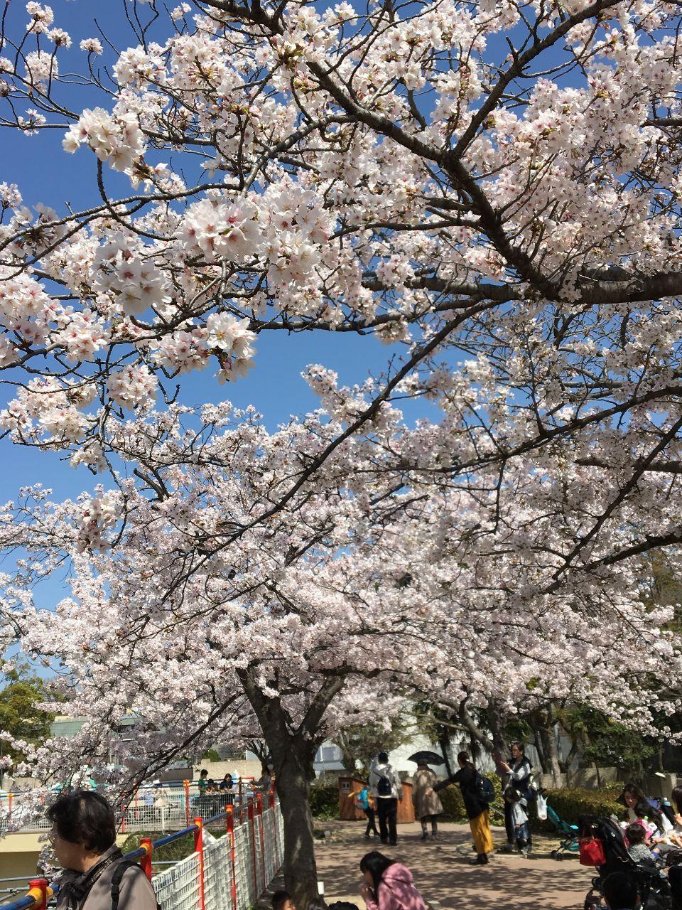 おじさま、お話しましょ。 こんにちは(╹◡╹) すみれちゃんと、動物園の桜を🌸見に行きました。 🌸並木の下のベンチでワンカップ