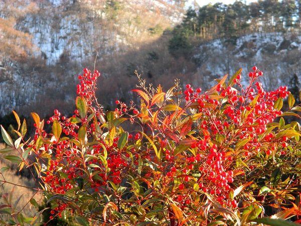 花と共に・・・ シャラクさんも雪には もう うんざりと言った ところでしょうか  昨日から小寒、そして大寒も直ぐです
