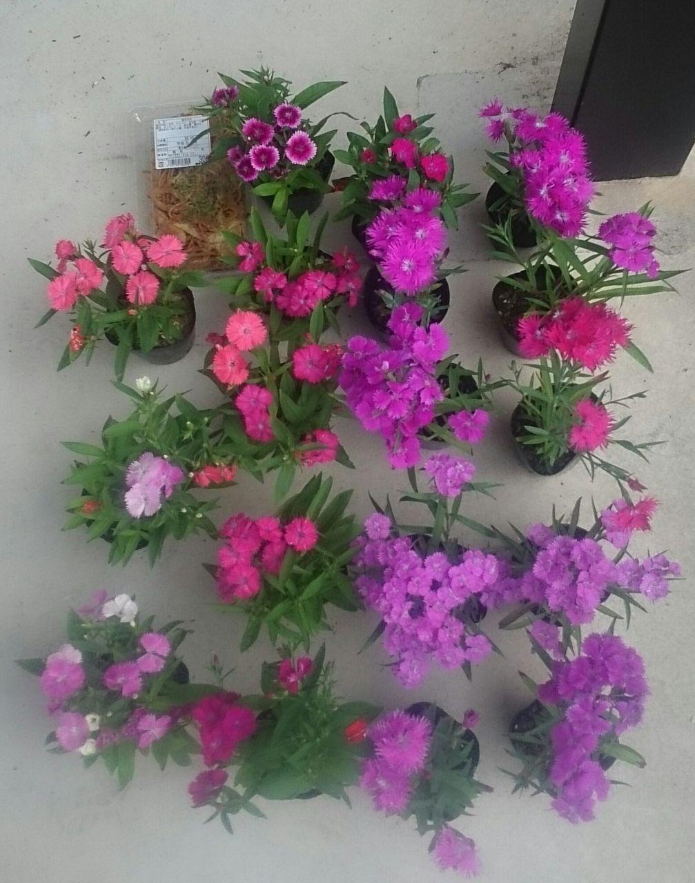 ●ー.ー●…あら、まあ、どう、しましよ??? ハマちゃん・・  おひさしぶりです  はい、あら、ミニ花壇  ★ひまわり🌻🌻🌻  ♯あさがお💠💠💠