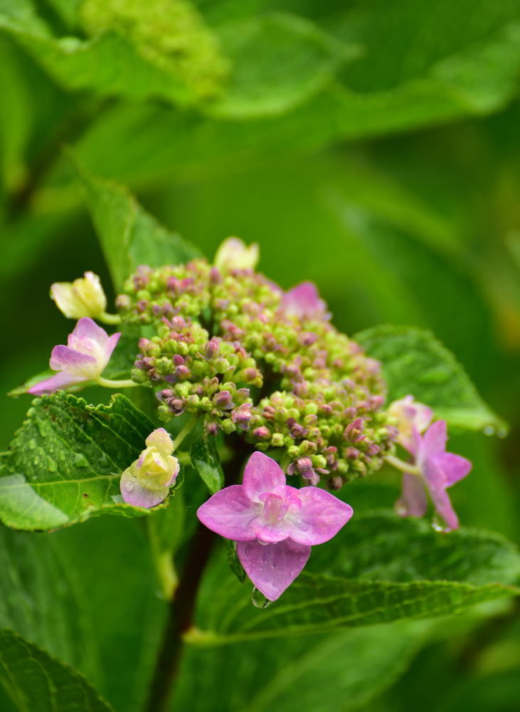 川西市周辺で女友達&彼女になってもいい方いませんか~ 小雨振る中、庭の紫陽花を撮りました。