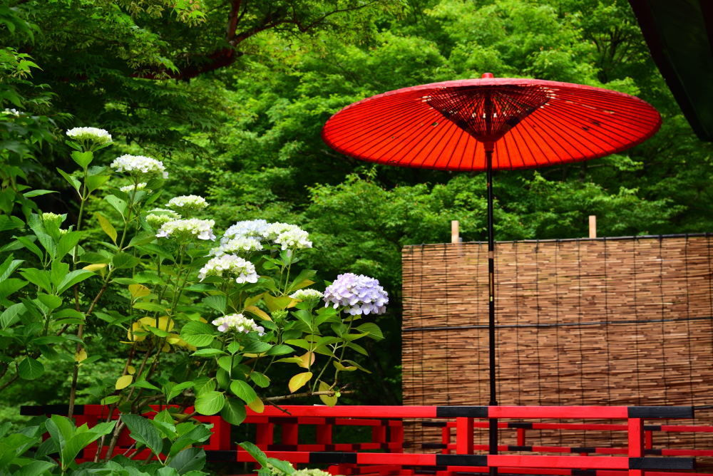 川西市周辺で女友達&彼女になってもいい方いませんか~ 綾部市 東光院の境内の紫陽花です。 赤い和傘が印象的でした。