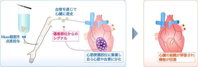 バイオ株(博打株)で一勝負 Museの基礎研究や細胞の採取技術は、NEDOの助成を受けて特許化され、現在は三菱ケミカル傘下の生命